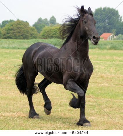 What A Lovely Beautiful Frisian Horse