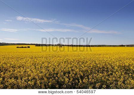 Rural Sea Of Canola