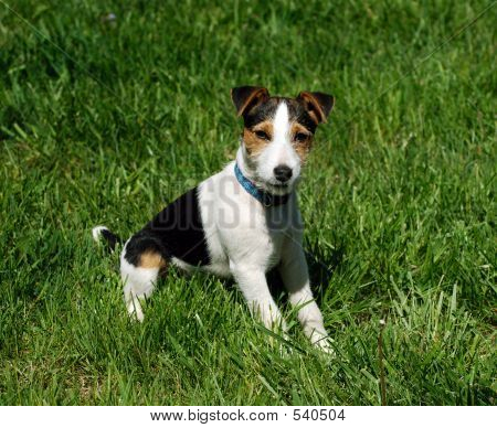 adorable jack russell terrier posing for the camera on a lush green lawn poster