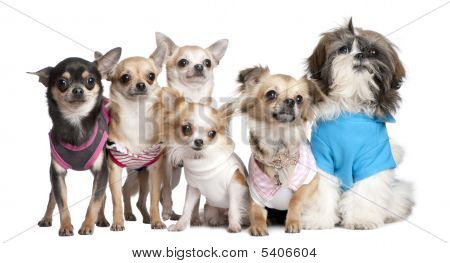 Group Of Dogs Dressed-up : 5 Chihuahuas And A  Shih Tzu