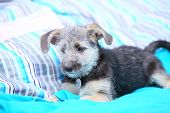 Animals at home - dog cute mutt puppy pet laying on bed turquoise blanket poster