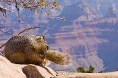 Squirrel biting its tail at the edge of Grand Canyon in Arizona. poster