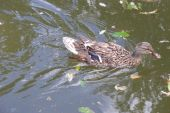 Swimming female duck in a garden pool. poster