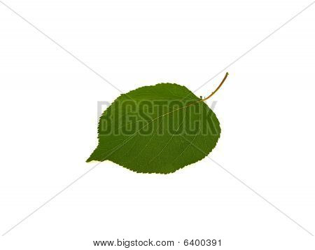 One Green Leaf Of An Apricot