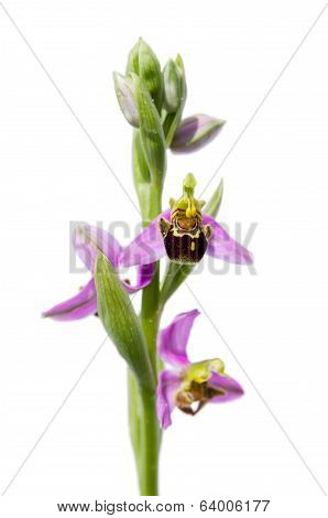 Wild Bee Orchid - Ophrys Apifera