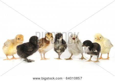 Multiple Baby Chick Chickens Lined Up on White
