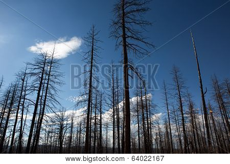 Burned Forest In Bryce Canyon National Park
