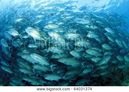 School Trevally (Jack) fish