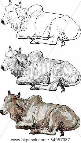 Resting White Cow, american Brahman