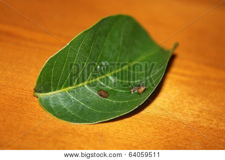 eacles imperialis caterpillar
