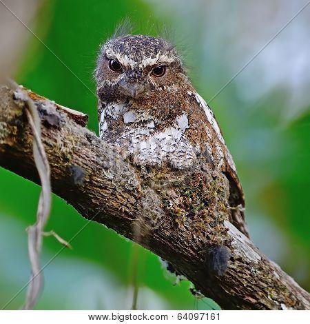 Male Hodgson Frogmouth