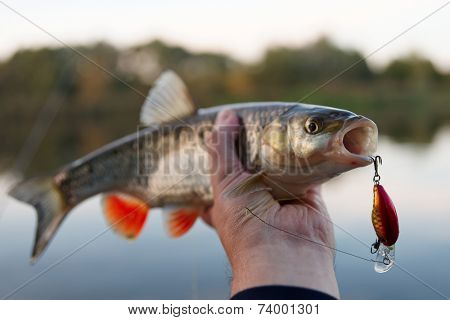 Nice chub in fisherman's hand, sunset light