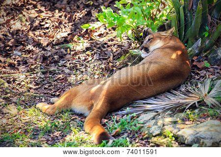Wild Puma