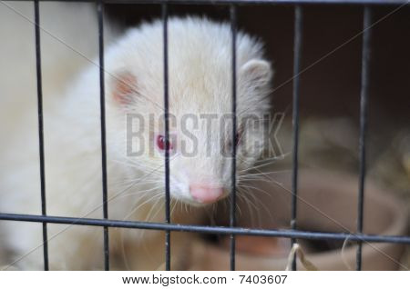 Pictures of a ferret eating an egg poster