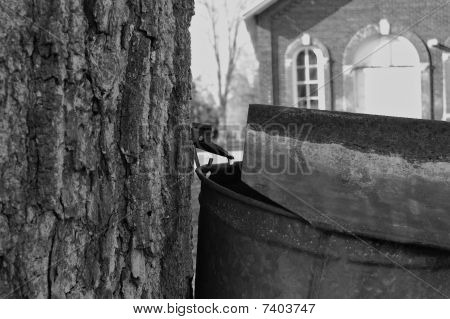 Maple Tree With Tap, Close-up, With Schoolhouse, Black And White