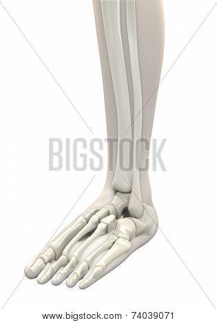 Human Foot Anatomy
