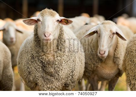 Sheep Looking At Camera
