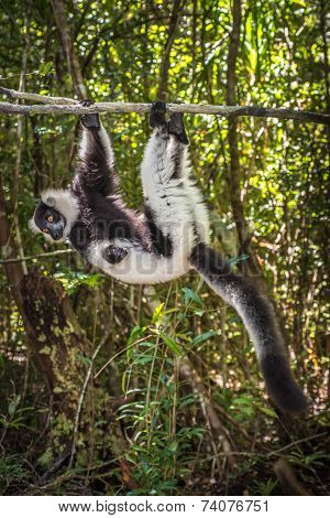 Black-and-white Ruffed Lemur Of Madagascar