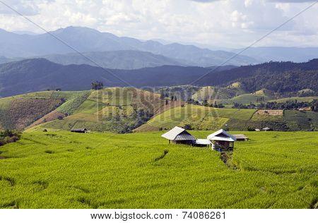 Farmer house in rice field