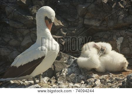 Nazca Boobies and the Baby Booby
