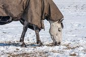 Horse with blanket grazing in a snowy pasture poster