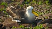 Albatross are large seabirds. They are highly efficient in the air, using dynamic soaring and slope soaring to cover great distances with little exertion. poster