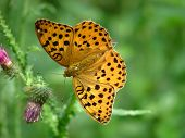 Fritillary Butterfly poster