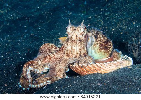 A Coconut (Veined) Octopus arranging shells for a shelter on a black volcanic sand seabed poster