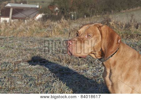 Magyar Viszla head portrait, detail, autumn Time, dog eyes