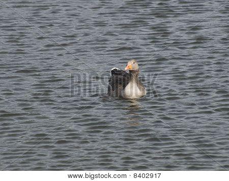 Greylag Goose Afloat