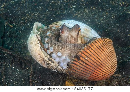 Coconut Octopus hiding in shells on the seabed poster
