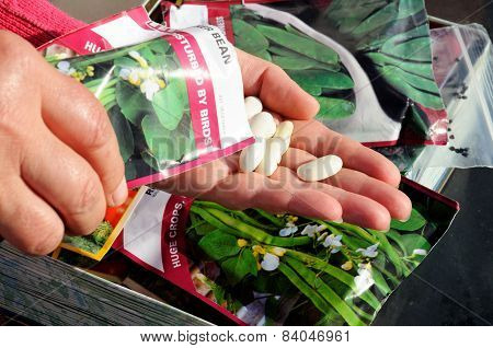 Shaking bean seeds into hand for sowing.