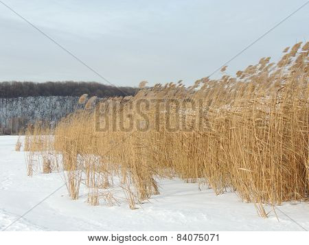 Common Reed In Winter