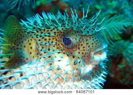 Mid Body Blown Porcupine Fish
