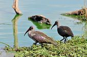 A pair of Hadeda Ibis wade birds in the Kruger Park South Africa poster