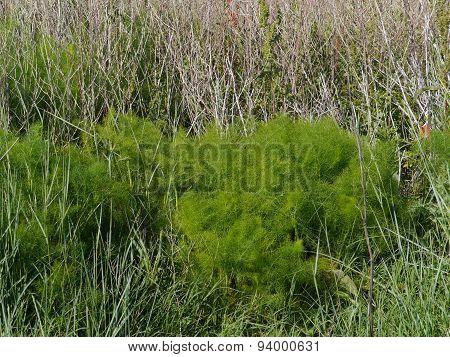 Decorative growth of asparagus plants on Pasman