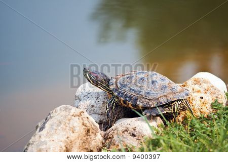 Red Eared Slider Turtle on the shore poster