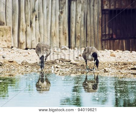 Two Beautiful Geese With Reflection In Water