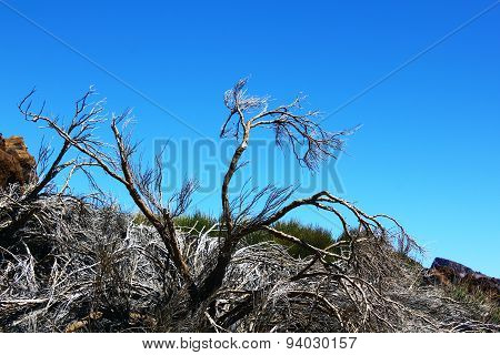 The dried tree in the desert