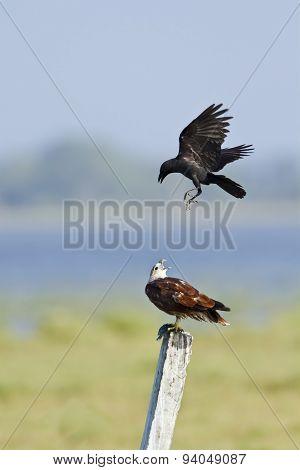 Brahminy Kite Attack By Crow In Pottuvil, Sri Lanka