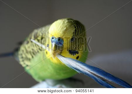 Male green and yellow male parakeet