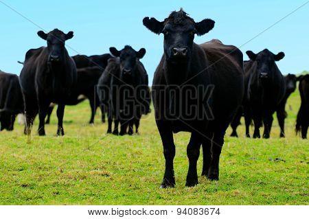 Black steers bulls on a field of a beef farm in New Zealand.
