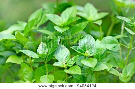 Fresh Basil - fresh leaves of Basil