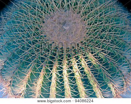Echinocereus Amoenus Cactus