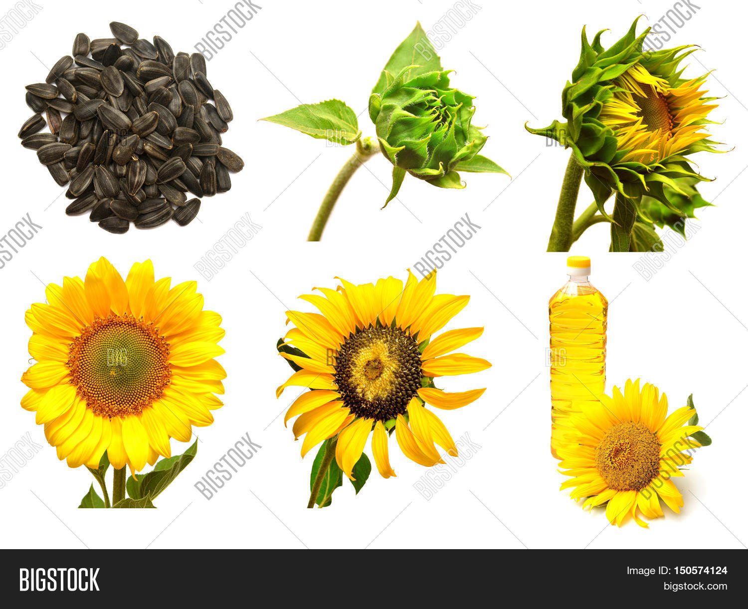 Collection of sunflower isolated on white background. Stages of growth of  sunflower. Seeds sunflower