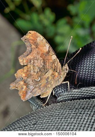 A close up of the butterfly (Polygonia C-album).