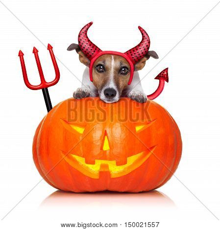 halloween witch jack russell dog on a big pumpkin isolated on white background