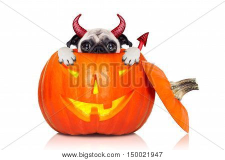 halloween devil pug dog inside pumpkin scared and frightened hiding from you isolated on white background
