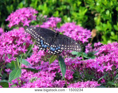 Black Swallowtail Butterfly On Purple