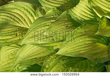 Leaves of hosta with water drops in the garden
